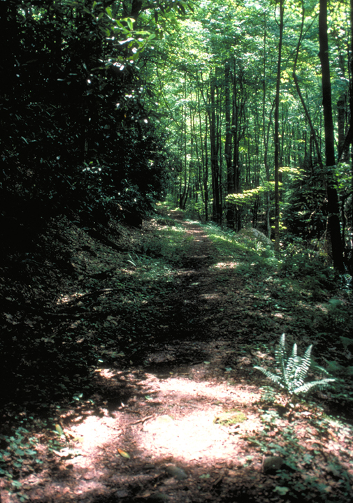 A sun dappled trail winds off among the tall, lean trees of the forest.